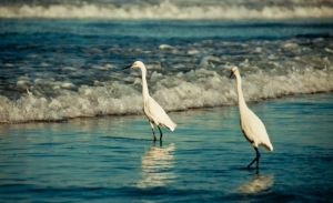 couple of snowy egrets looking for breakfast. photo by Al Q